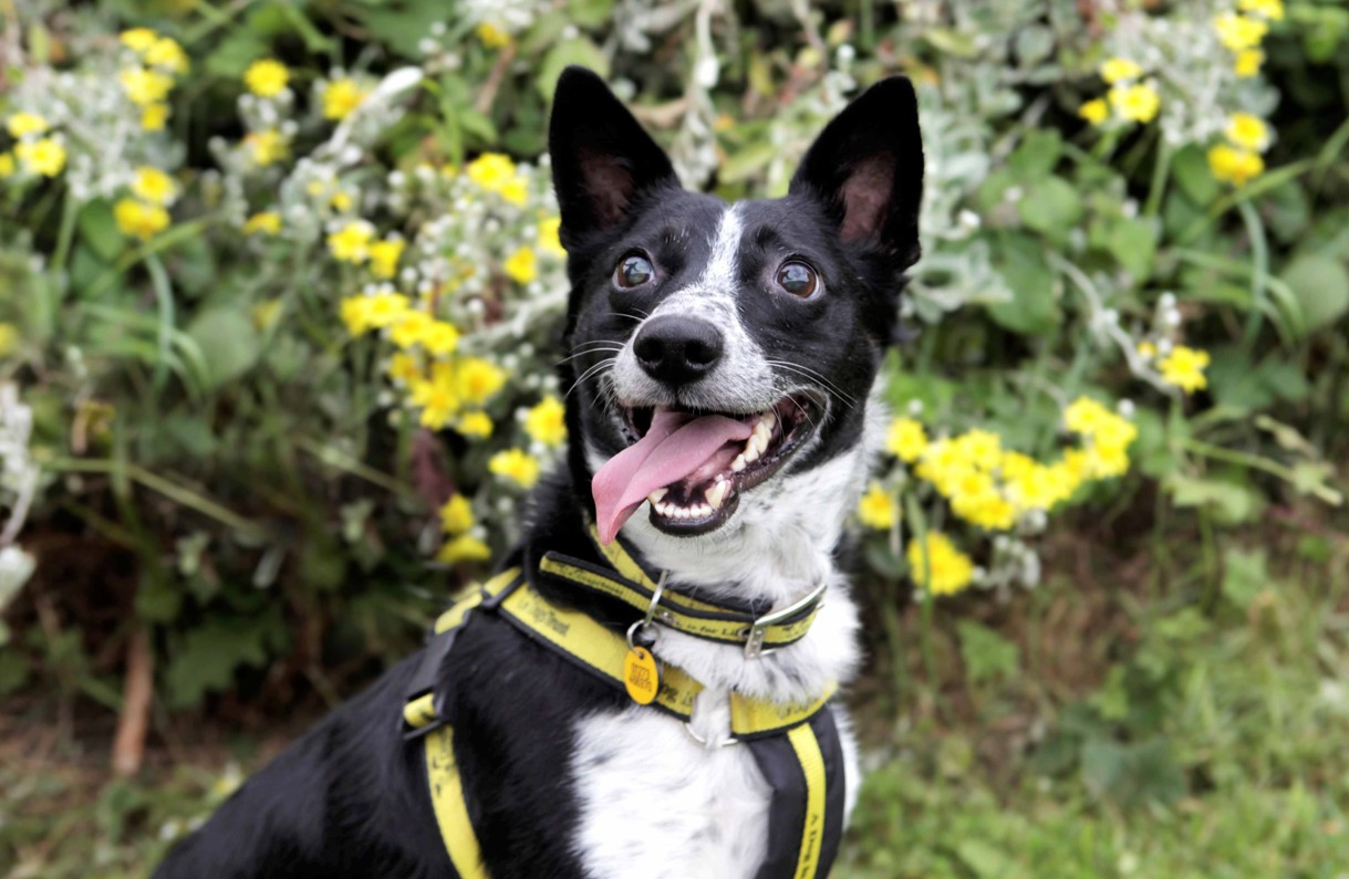 Part-blind Harefield collie awaiting his forever home