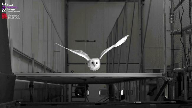Super drones that can fly through storms could be on the horizon - inspired by the barn owl