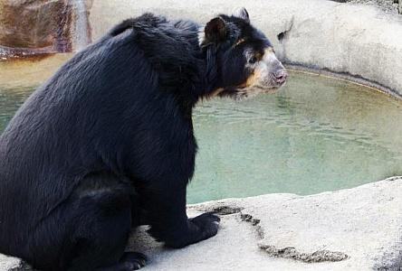 spectacled bear pictured. Source - https://freerangestock.com/search/all/Spectacled-bear