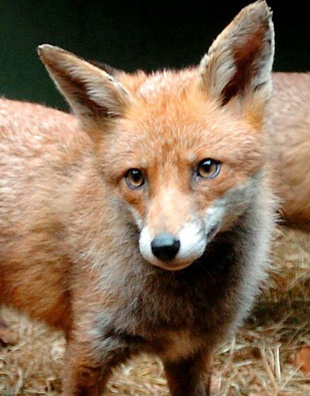 Bodies of two dead foxes spark fears of cull