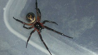 Charmagne Johns found this spider in Barnehurst