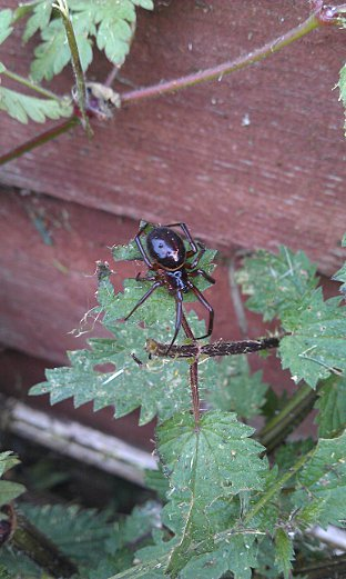 Paul Fryer found a Steatoda noblis in Erith