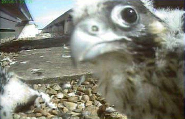 This Is Local London: SUTT: Peregrine TV returns