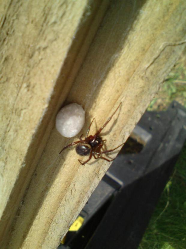 The Steatoda grossa was found in a Welling garage