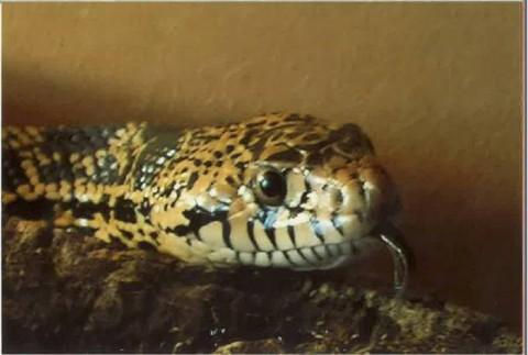 A picture of Elsa the snake provided by David Richens