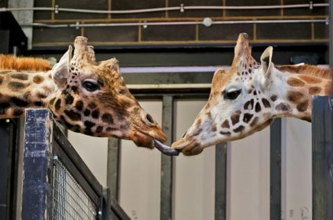 Can you feel the love tonight? Giraffes at their new home