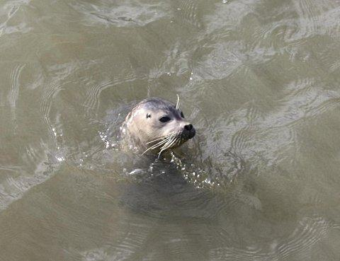 Nicola White took this snap of the Thames seal