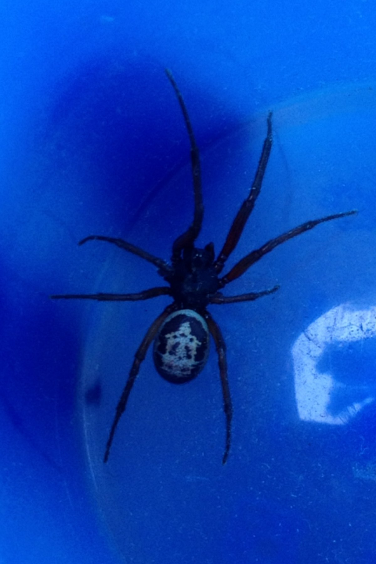 False widow spider spied crawling towards baby in Blackheath