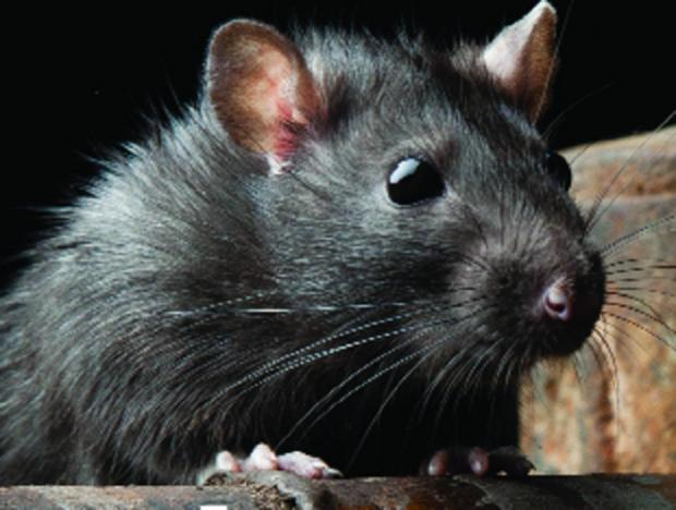 Rats have been invading homes following floods