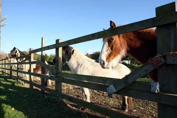 Horses on disused land along Chantilly Way in November