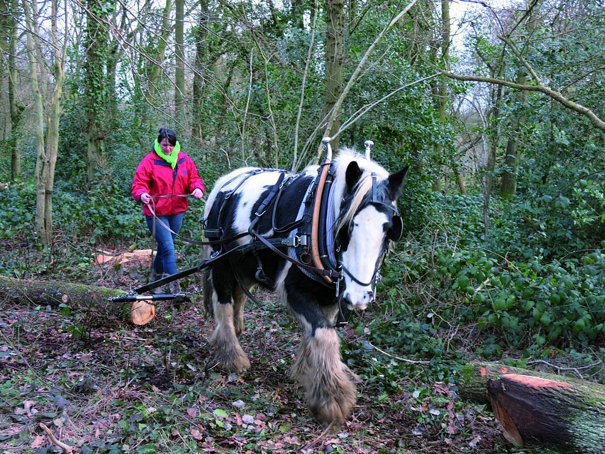 Heavy horses have been used to remove wood in Horton Country Park in Epsom