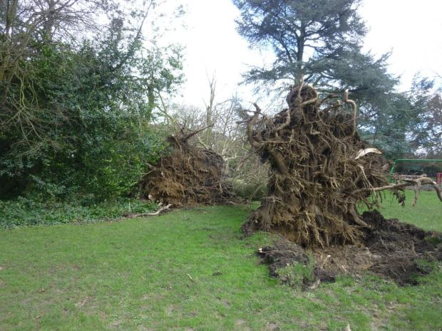 This Is Local London: Three large trees fell in the high winds at Stephens House & Gardens (Pic: Stephens House & Gardens)