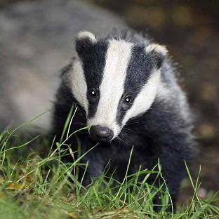 Pilot badger culls in Somerset and Gloucestersh