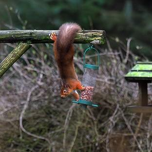 This Is Local London: A Red Squirrel tries to take some nuts from a bird feeder in Kielder Forest, Northumberland