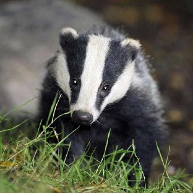 This Is Local London: Pilot culls were due to run for six weeks, with the aim of killing 70% of badgers in each area