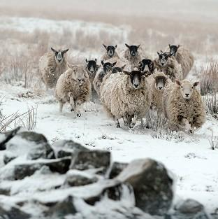 This Is Local London: Sheep walk through snow at Nenthead on the Cumbria and Northumberland border