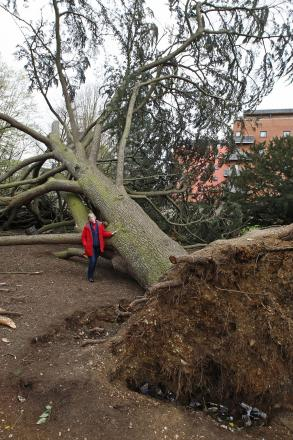 Councillor Maggie Mansell is dwarfed by the fallen tree