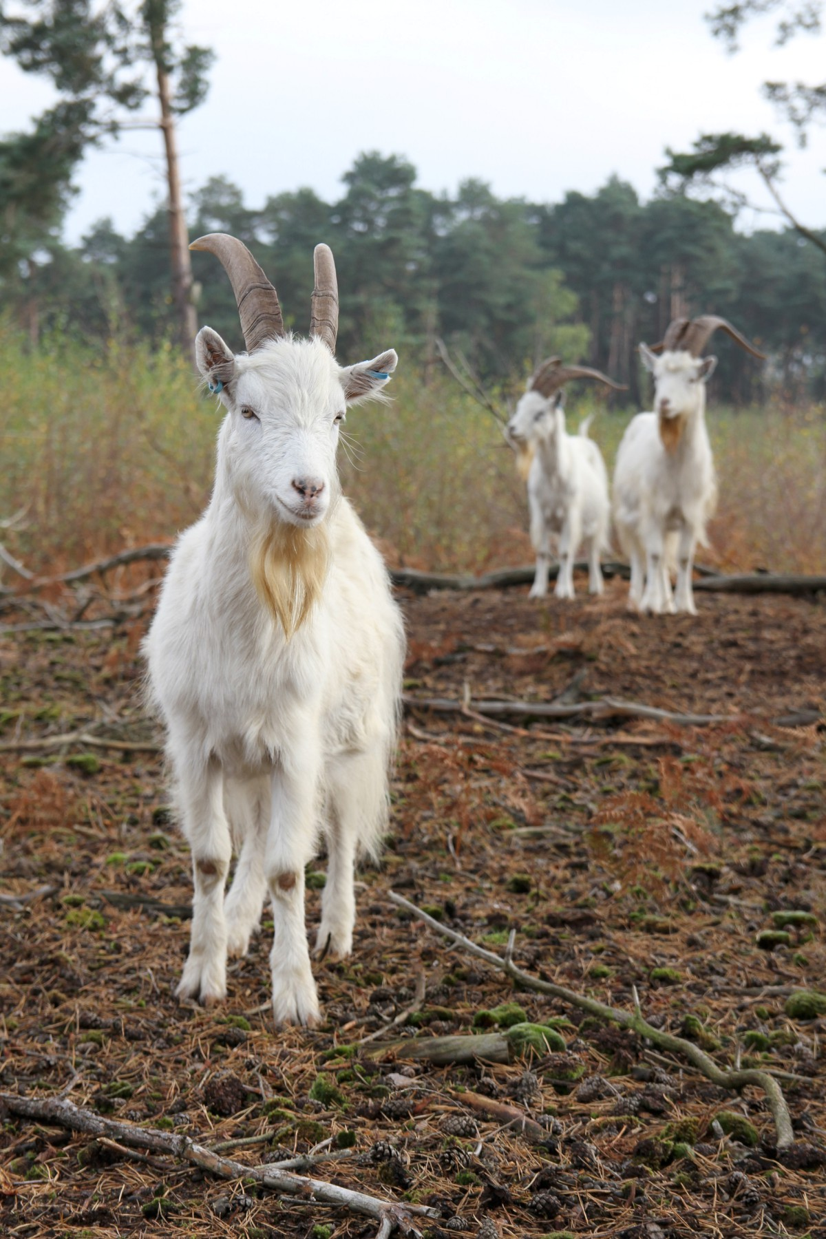 Stare at goats: On Esher Common