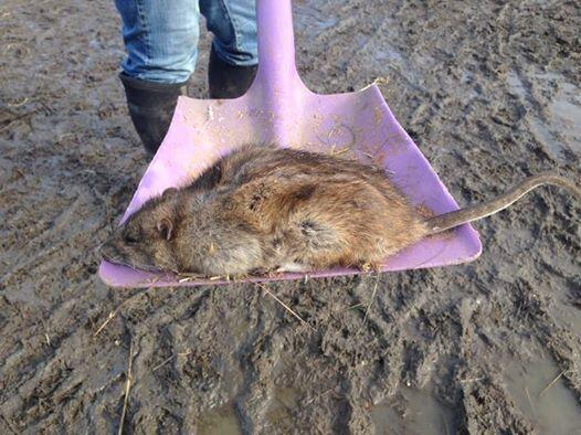 This Is Local London: PICTURED: Giant rat reported in Gravesend