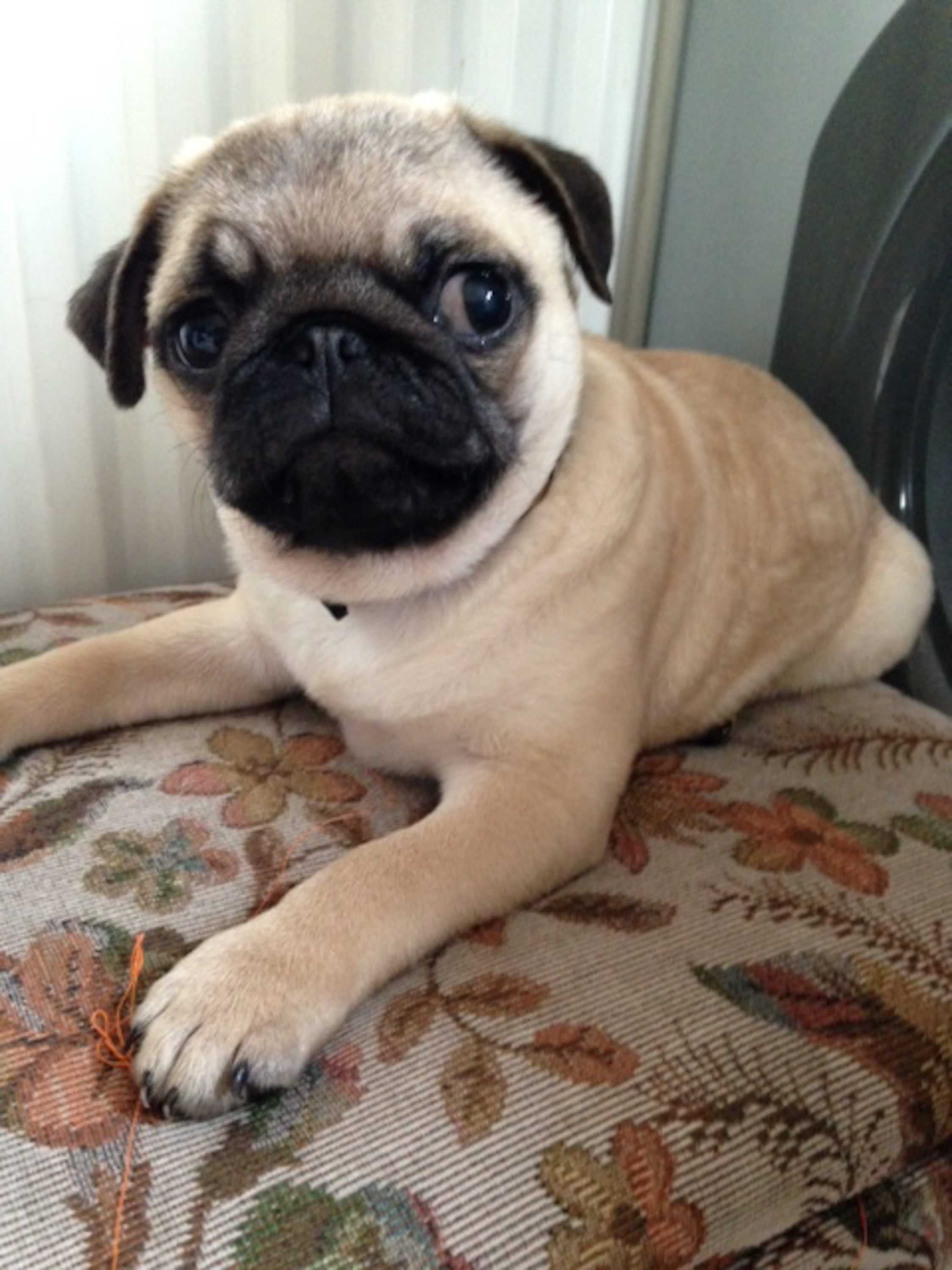Bromley family left 'devastated' after unknown woman 'throws pet pug into car and drives off'