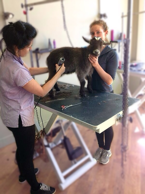 VIDEO: We're not kidding - goat given makeover at grooming parlour