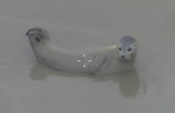 The seal tweeted by @MPSinthesky