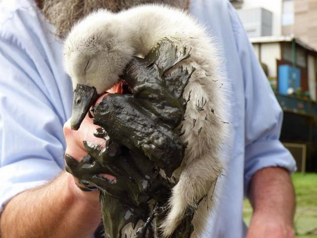 This Is Local London: PICTURED: First baby swans born in urban Deptford Creek in four years