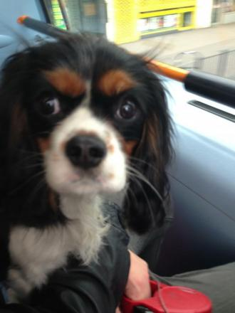 Cassie the King Charles cavalier is Pet of the Day