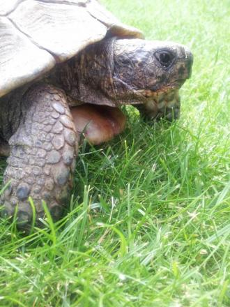 Freddy the very old tortoise