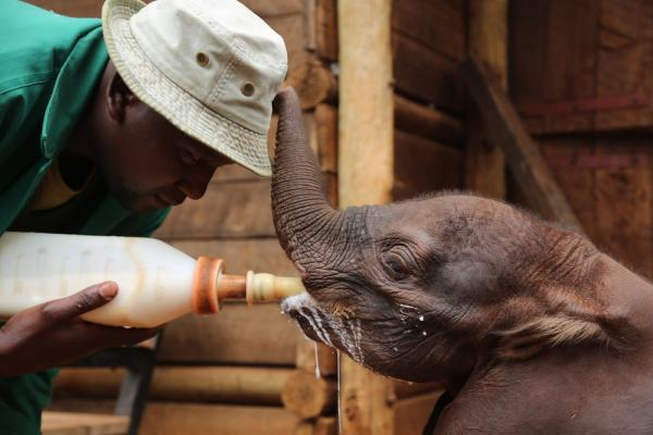 Ndotto was taken by helicopter to the David Sheldrick Wildlife Trust nursery
