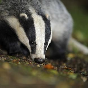 The Badger Trust sought a