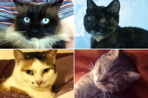 Killed: Four cats that fell victim to an alleged 'cat killer'