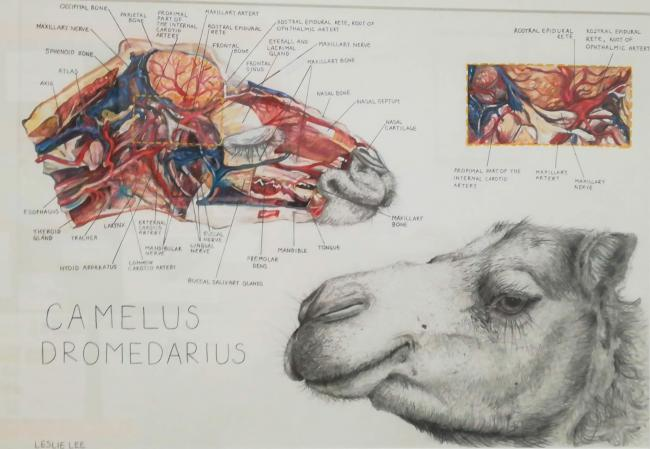 The camel drawing was created using graphite pencil, watercolour and acrylic paints, and colouring pencils.